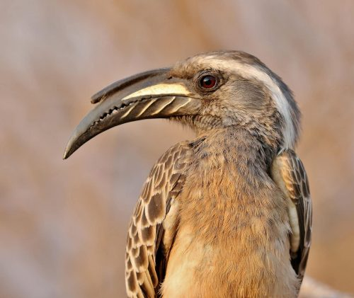 African Grey Hornbill - Male