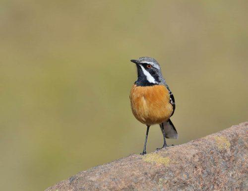 Drakensberg Rockjumper Male 2