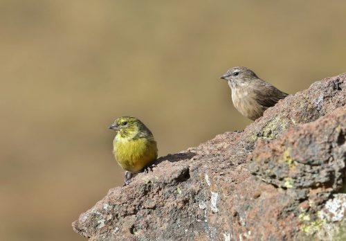 Drakensberg Siskin Male & Female
