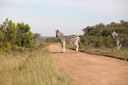 Mansfield Game Reserve - Zebra