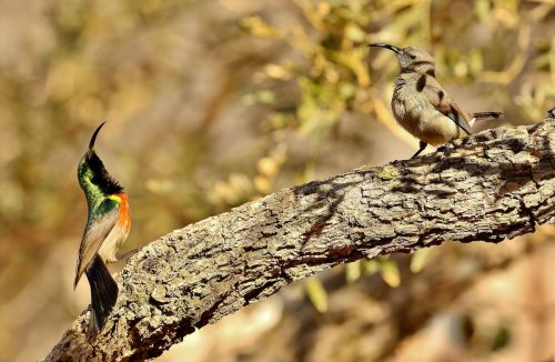 Pair of Greater Double-collared Sunbirds-Courtship Display