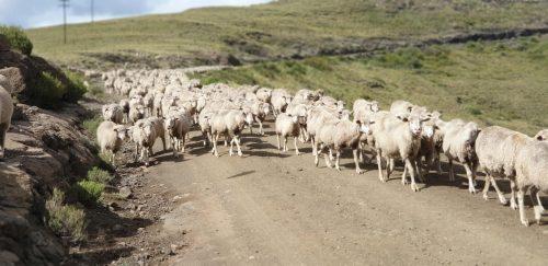 tenahead-sheep